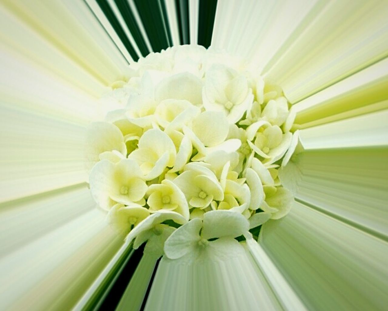 flower, flower head, petal, fragility, nature, beauty in nature, freshness, close-up, plant, bouquet, no people, leaf, banana leaf, day, frangipani, outdoors