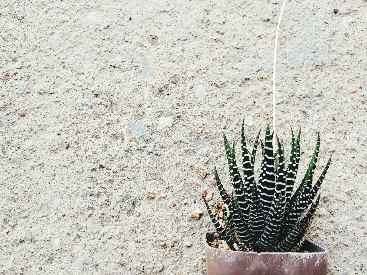 ต้ น ก ร ะ บ อ ง เ พ ช ร 🌵 ต้นกระบองเพชร Catus Plants Nature Close-up No People Outdoors Day Backgrounds