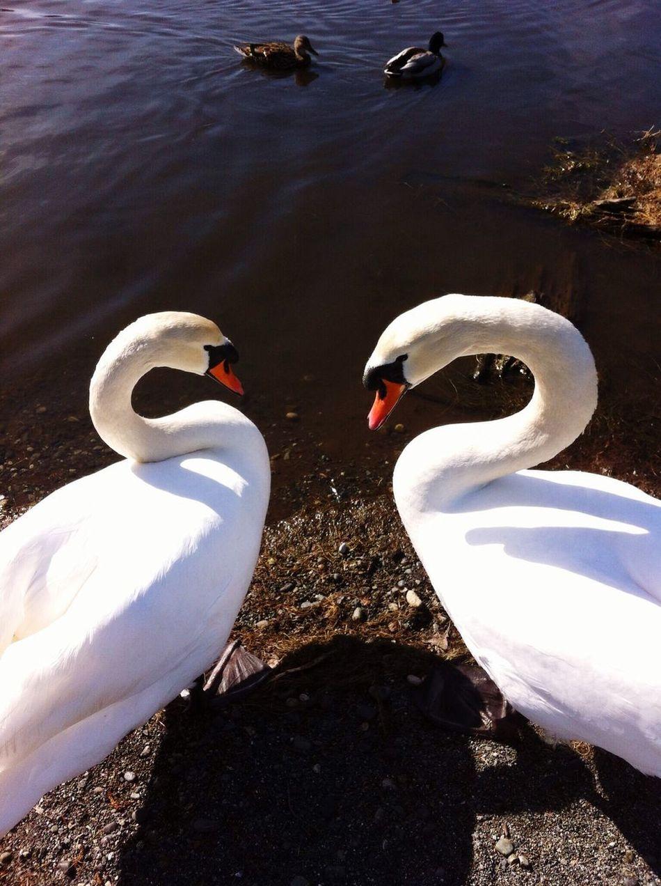 2 Swans Swan Heart Love Birds Lovers Birds White Bird Ducks Water Pond Vancouver Island Swan White