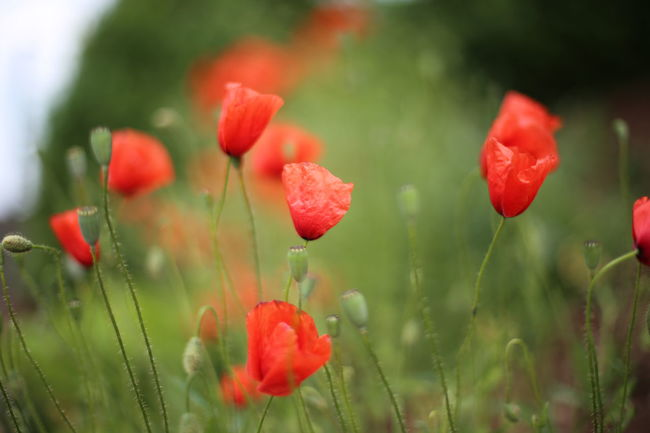 Beauty In Nature Close-up Day Flower Flower Head Fragility Freshness Growth Horizontal Nature Nature No People Outdoors Plant Poppy Poppy Flowers Red Red Summer Water
