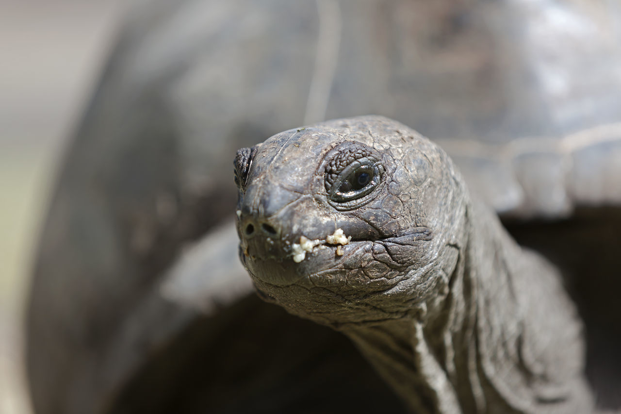Animal Animal Themes Animals In The Wild Close-up Curieuse Island Day Giant Tortoise Nature No People One Animal Outdoors Reptile Seychelles Tortoise Travel Travel Destinations Travel Photography