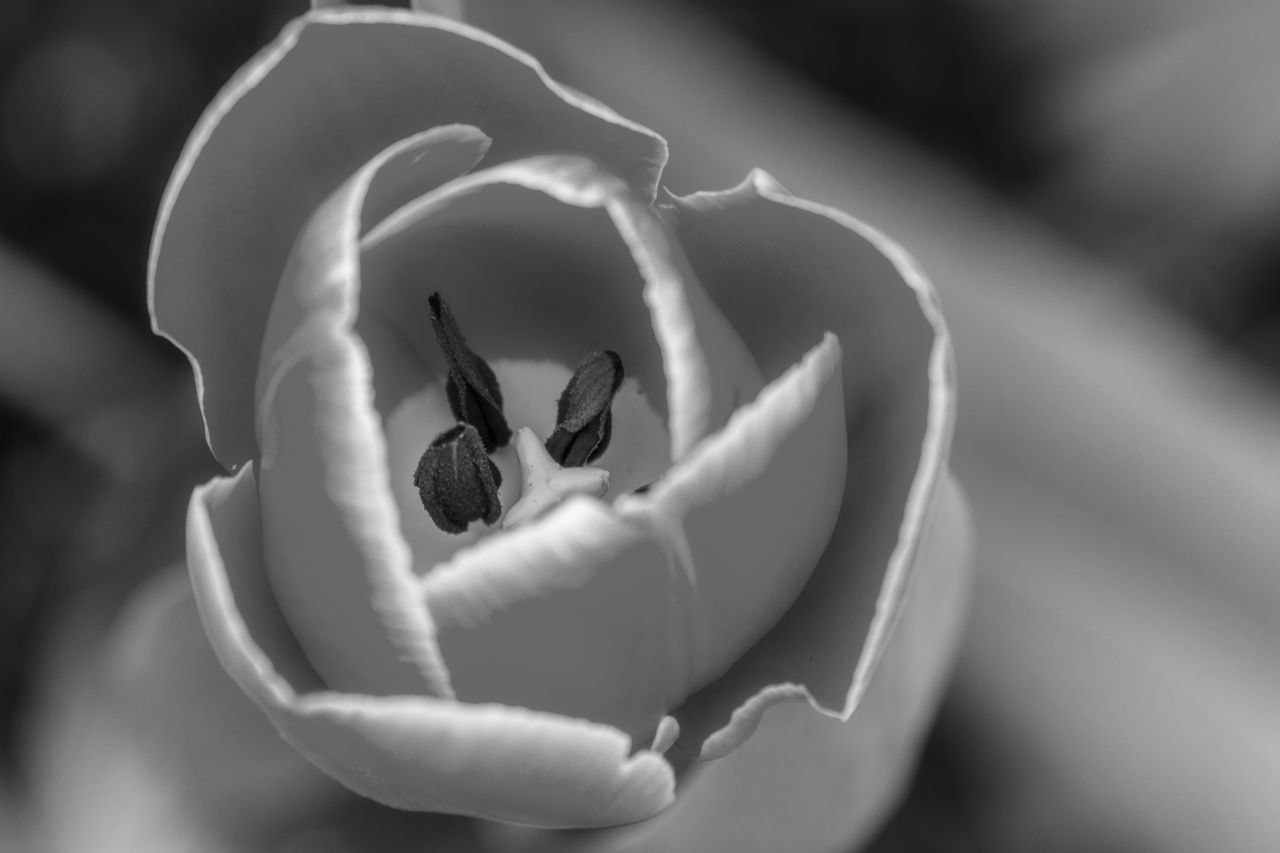 Beauty In Nature Black And White Close-up Day Flower Flower Head Fragility Freshness Living Organism Nature No People Outdoors Plant Tulip