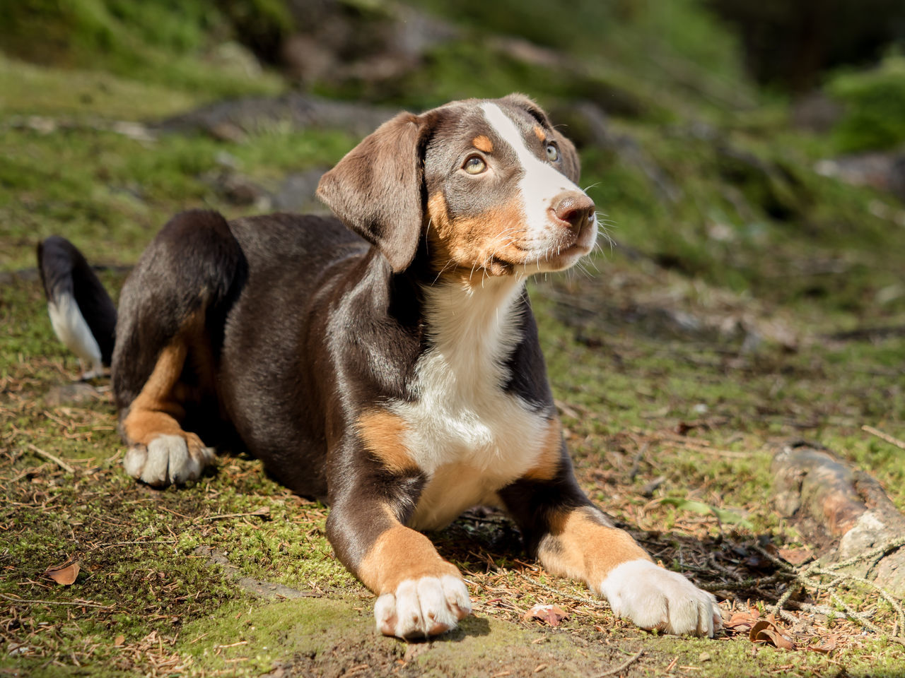 Appenzeller tricolor puppy Adorable Dog Animal Themes Appenzeller Appenzellermountaindog Appenzellersennenhund Breed Breeding Brown Cute Dog  Cute Pets Day Dog Dog Food Domestic Animals Friendly Mammal No People Obedience One Animal Outdoors Pets Puppy Puppy Dog Face Tricolor