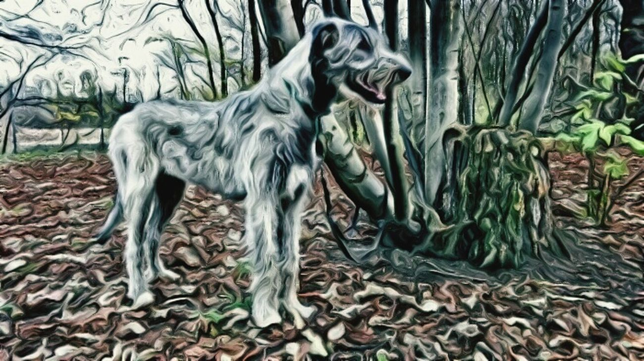 Check This Out The Places I've Been Today Autumn 2015 Dezember I Love My Dog❤ Irish Wolfhound Dogs Of EyeEm Dogwalk Cearnaigh Dogslife Dog❤ Dog Of The Day My Dogs Are Cooler Than Your Kids Four Legs And A Tail Dogsofinstagram Animal_collection Nature_collection