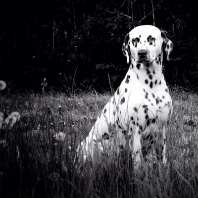 bw_dogs in Skövde by Hundtass
