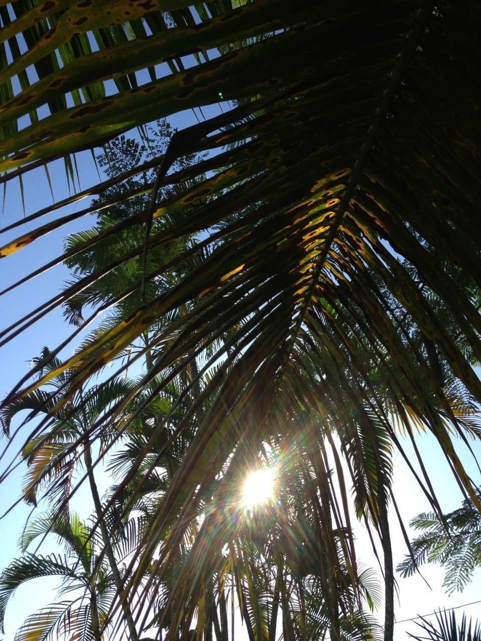 Low Angle View Of Sun Shinning Though Palm Tree