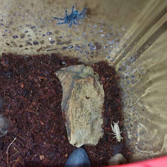 Meet Jables :) Versicolor Tarantula Spider Avicularia Antilles Pinktoe