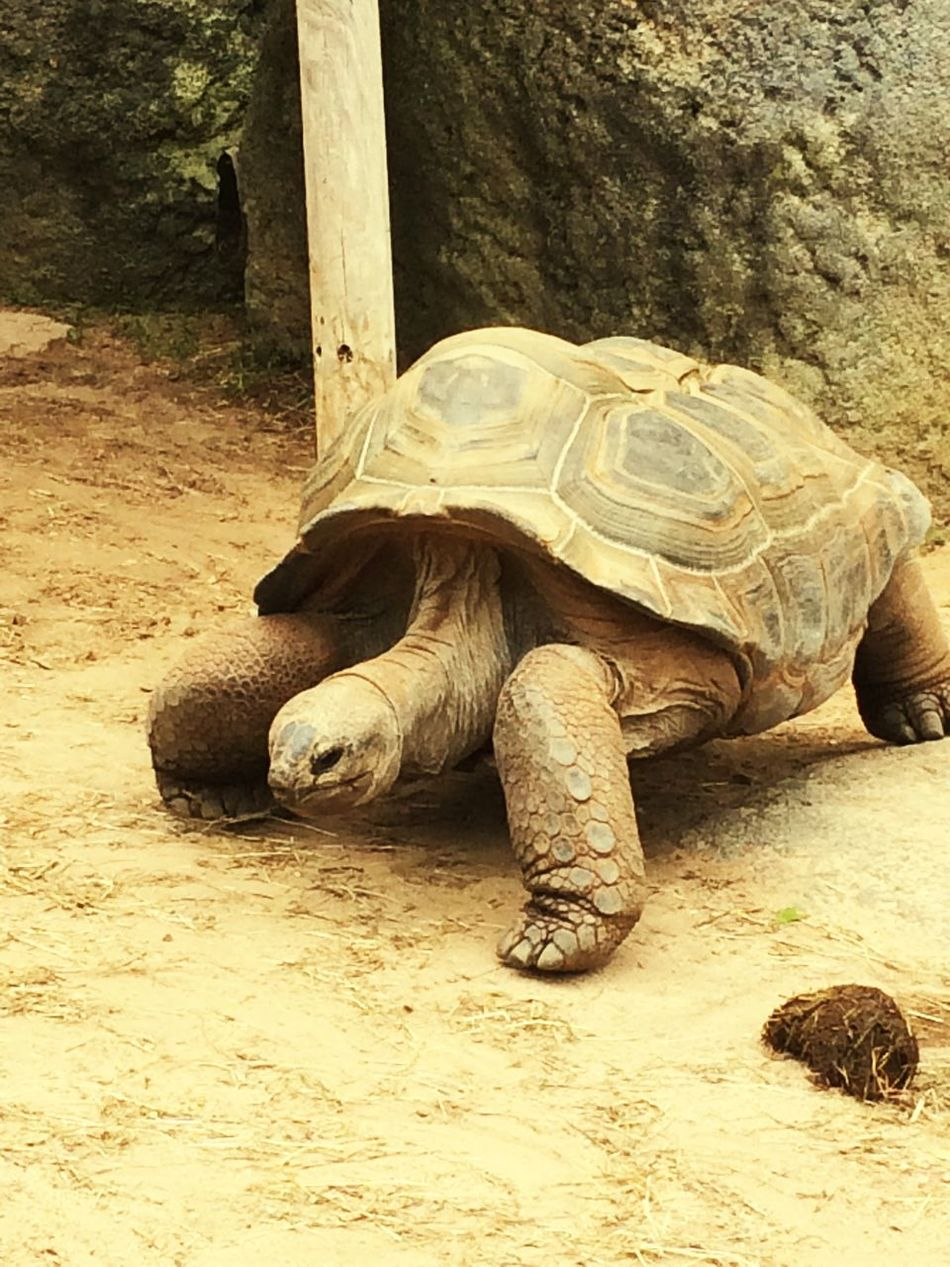 Big Turtle Tortoise Reptile Animals In The Wild One Animal Animal Shell Animal Themes Tortoise Shell Turtle Animal Wildlife Wildlife Day Nature No People Outdoors Sea Turtle Close-up