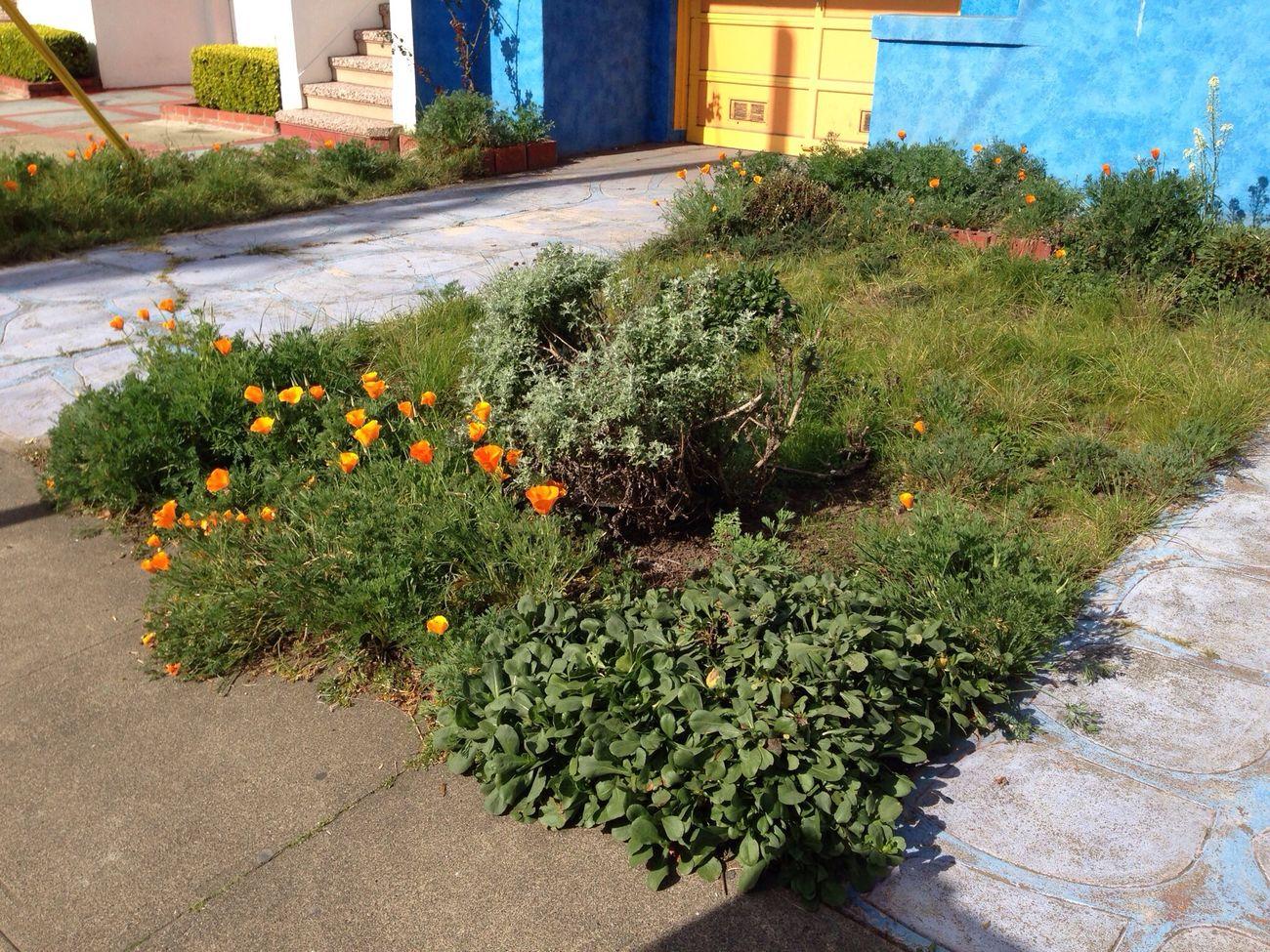 My Garden Poppies  California Poppy Taking Photos