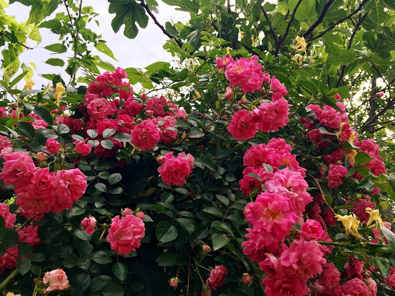 Beautiful stock photos of rosen, Beauty In Nature, Day, Flower, Focus On Foreground