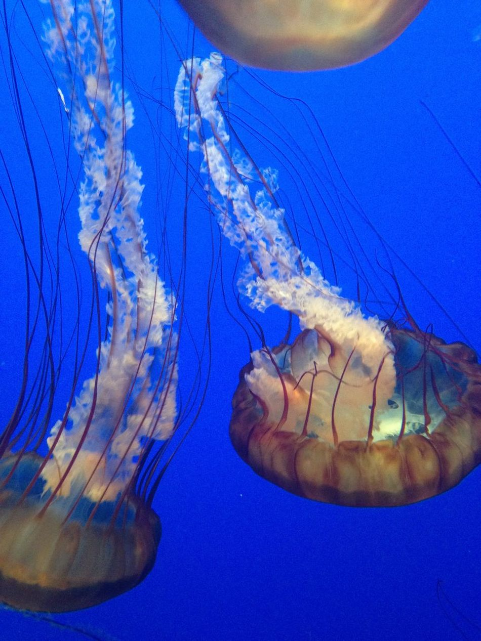 Jellyfishes Aquarium Life Aquarium Photography Monterey Bay Aquarium bBlue Water