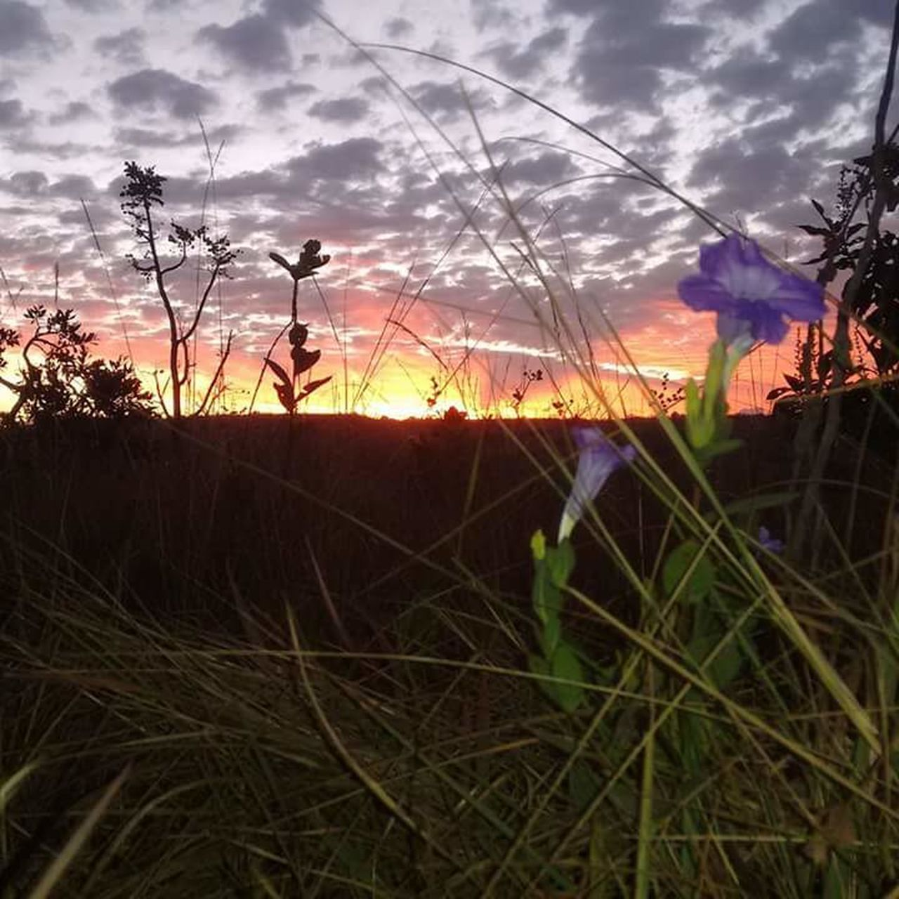 sky, growth, sunset, cloud - sky, nature, plant, field, grass, outdoors, no people, beauty in nature, tranquility, flower, scenics, day, close-up