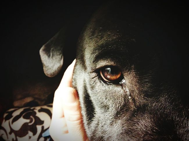 Love Without Boundaries I Love My Pitbull Give Up On Everything Except My Pitbulls I'll  Go Broke Hungry Homeless First Oh Wait I Am ... I Never Gave Up, My Best Photo 2015 My Struggle  My Comeback My Life Pitbull Love Canine Love :) Canine Devotion Dogsofeyeem Brown Eyes