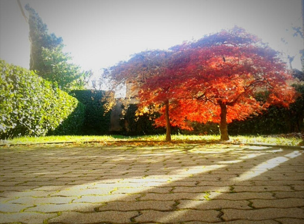 Autumn Tree Granfather's Garden Orange Leaves Colors Sun Shadows Picoftheday