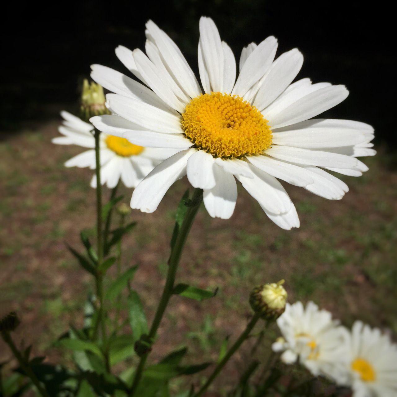Daisy Enjoying Life Flowers, Nature And Beauty Flowers,Plants & Garden Nature's Best Beautifulflowerseveryday Beauty In Nature Garden Photography Iphonephotography Flowers Eye4photography  Daisy
