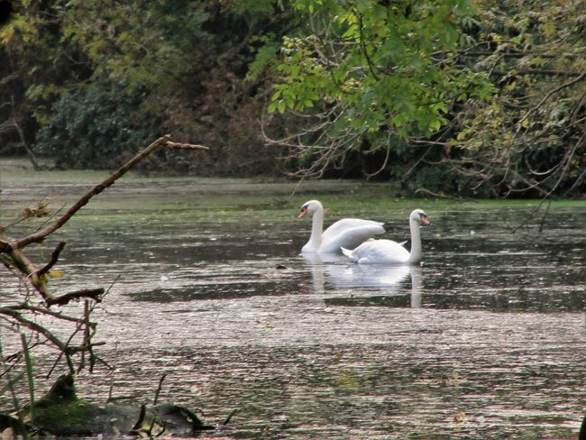 Swans on the canal Animal Themes Animals In The Wild Beauty In Nature Bird Day Floating On Water Lake Nature Outdoors Swan Swimming Tranquility Water Water Bird