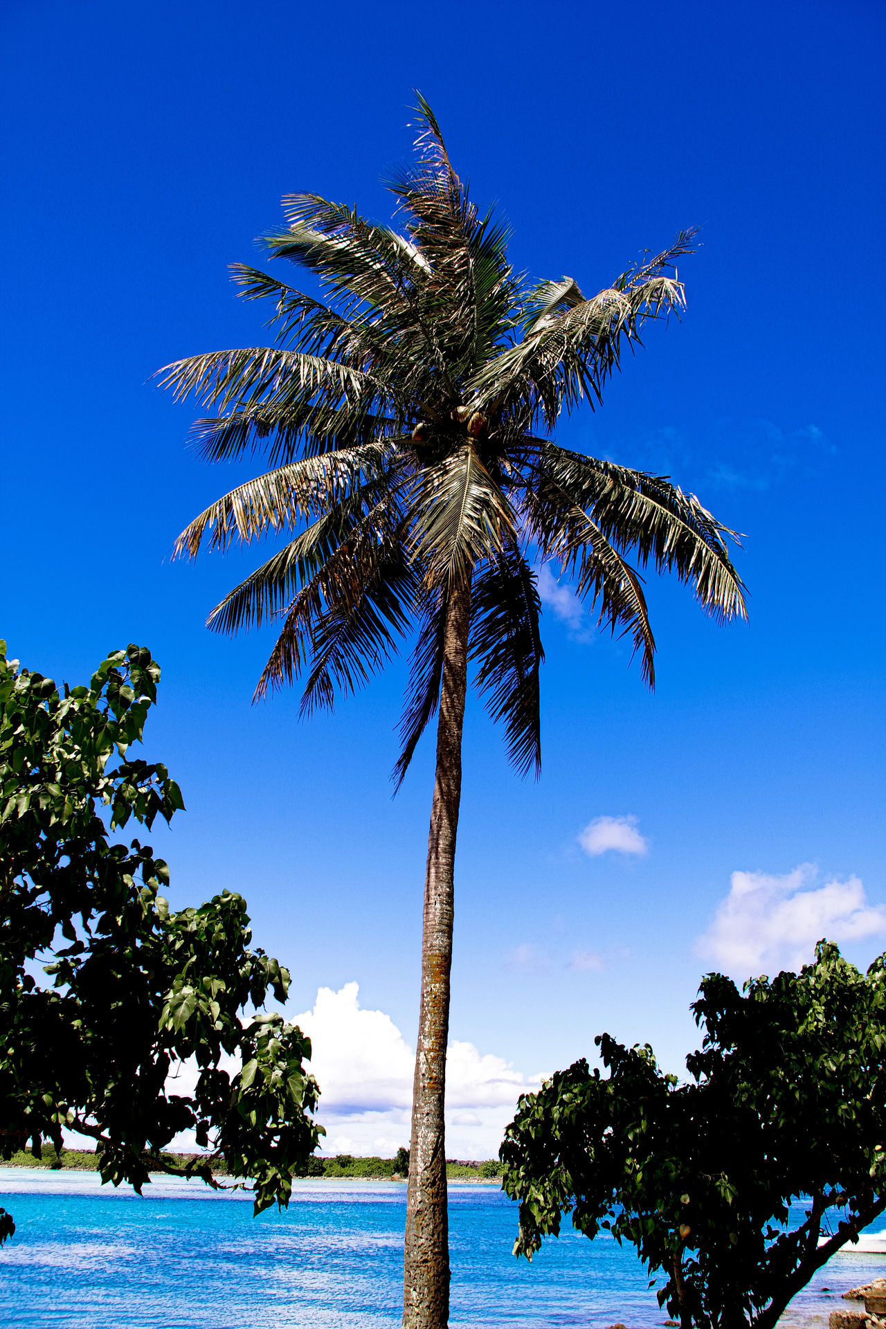 An image of nice palm trees in the blue sunny sky 43 Golden Moments America American Flag Beauty In Nature Blue Blue Sky Getty Getty Images Getty X EyeEm Growth Guam Nature Nature Nature_collection Outdoors Pacific Palm Tree Sky Stockphoto Stockphotography The OO Mission Tree Vacation
