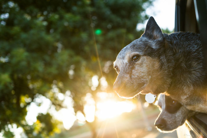 Animal Eye Animal Head  Cattledog Doglife Focus On Foreground Heeler Lens Flare Mammal No People Outdoors Pets Roadtrip Sunbeam Whisker
