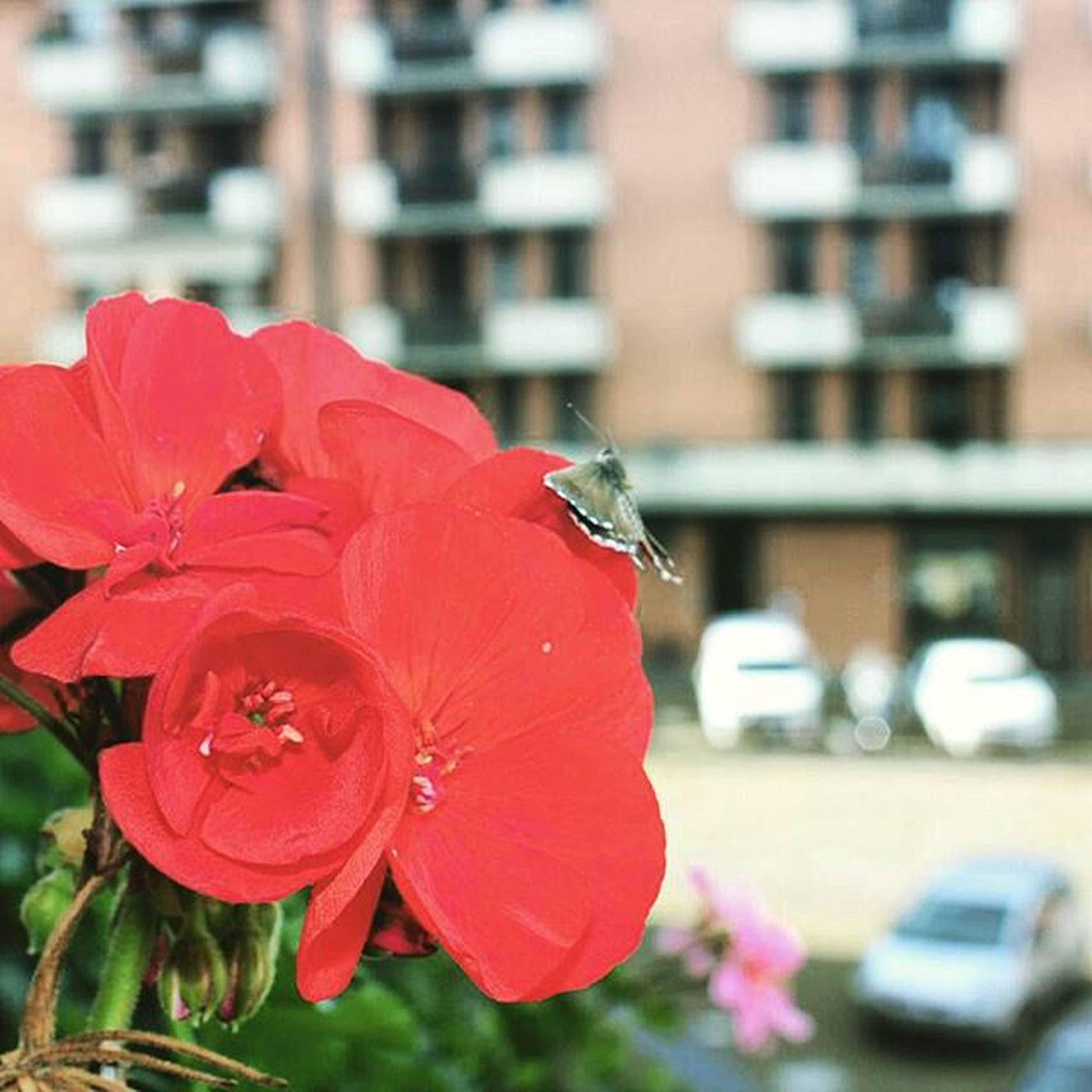 flower, petal, focus on foreground, flower head, red, fragility, freshness, close-up, building exterior, architecture, built structure, blooming, growth, selective focus, beauty in nature, day, outdoors, city, nature, incidental people