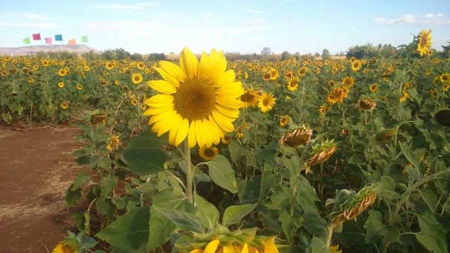 Fresh like sun flower Sunflower Flower Yellow Plant Field Cloud - Sky Growth Outdoors Sky Crop  Rural Scene Nature Agriculture Flower Head Summer Freshness Day Travel Destinations No People Leaf