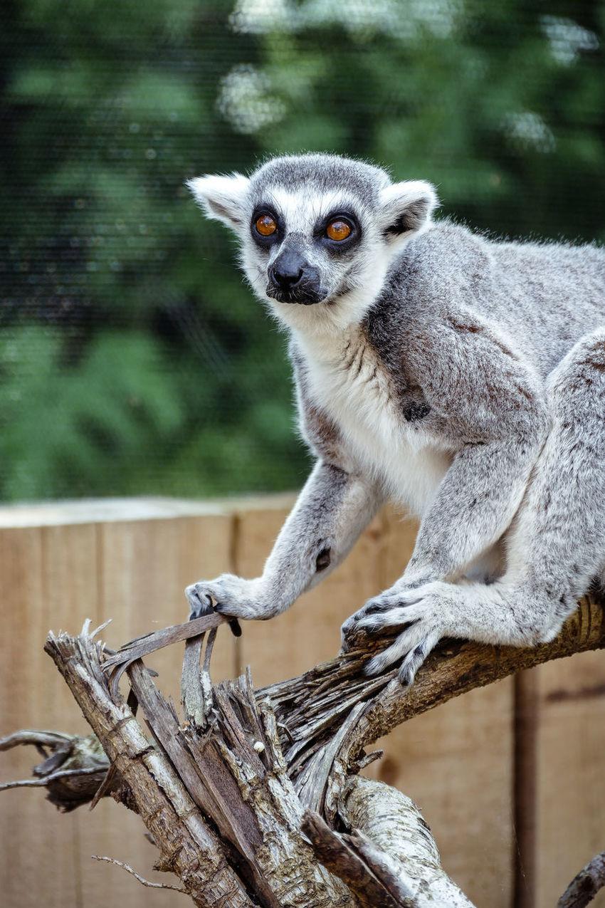 Lemar Londonzoo ZSL London Zoo Monkey Animal Animalportrait Eyes Leicacamera Leica Leicavluxtyp114 Kojikam Primeape