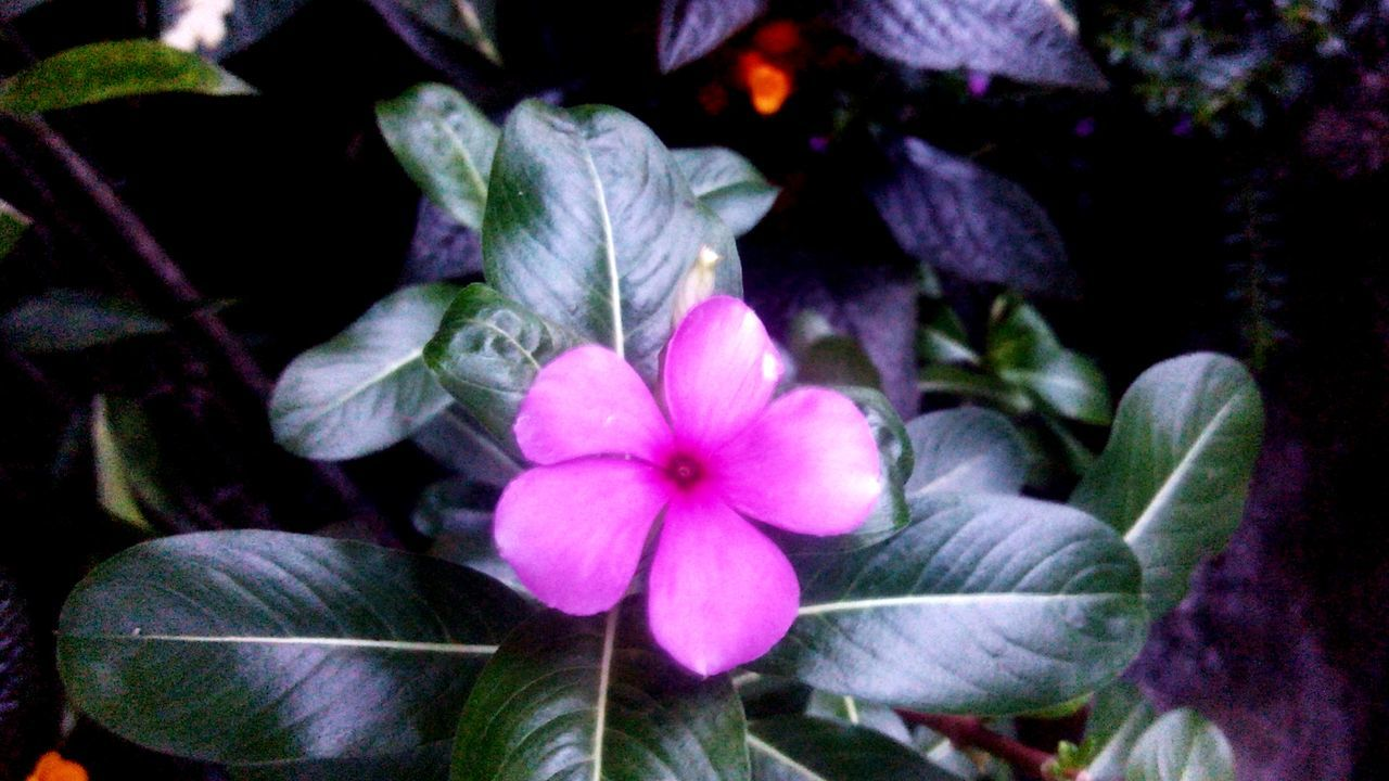 flower, beauty in nature, petal, growth, plant, nature, flower head, blooming, freshness, fragility, no people, day, outdoors, periwinkle, close-up