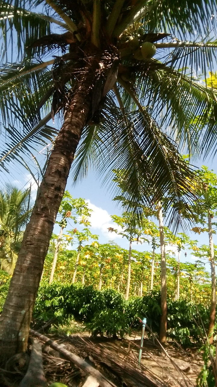 tree, palm tree, growth, tree trunk, nature, no people, day, tranquility, low angle view, beauty in nature, scenics, outdoors, green color, sky, branch, close-up