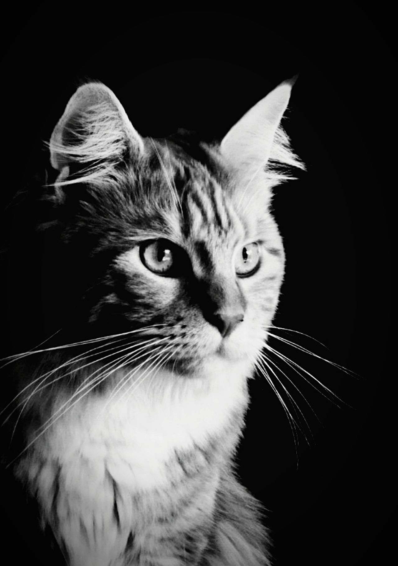 Domestic Cat Pets Feline Domestic Animals Animal Themes Whisker Black Background Animal Portrait EyeEmNewHere Noir Et Blanc Noir Et Blanc Photographie Black And White Photography Blackandwhite Mainecoonlovers Maine Coon Cat Maine Coon Hobbyphotography Hobby Hobby Photography Katze