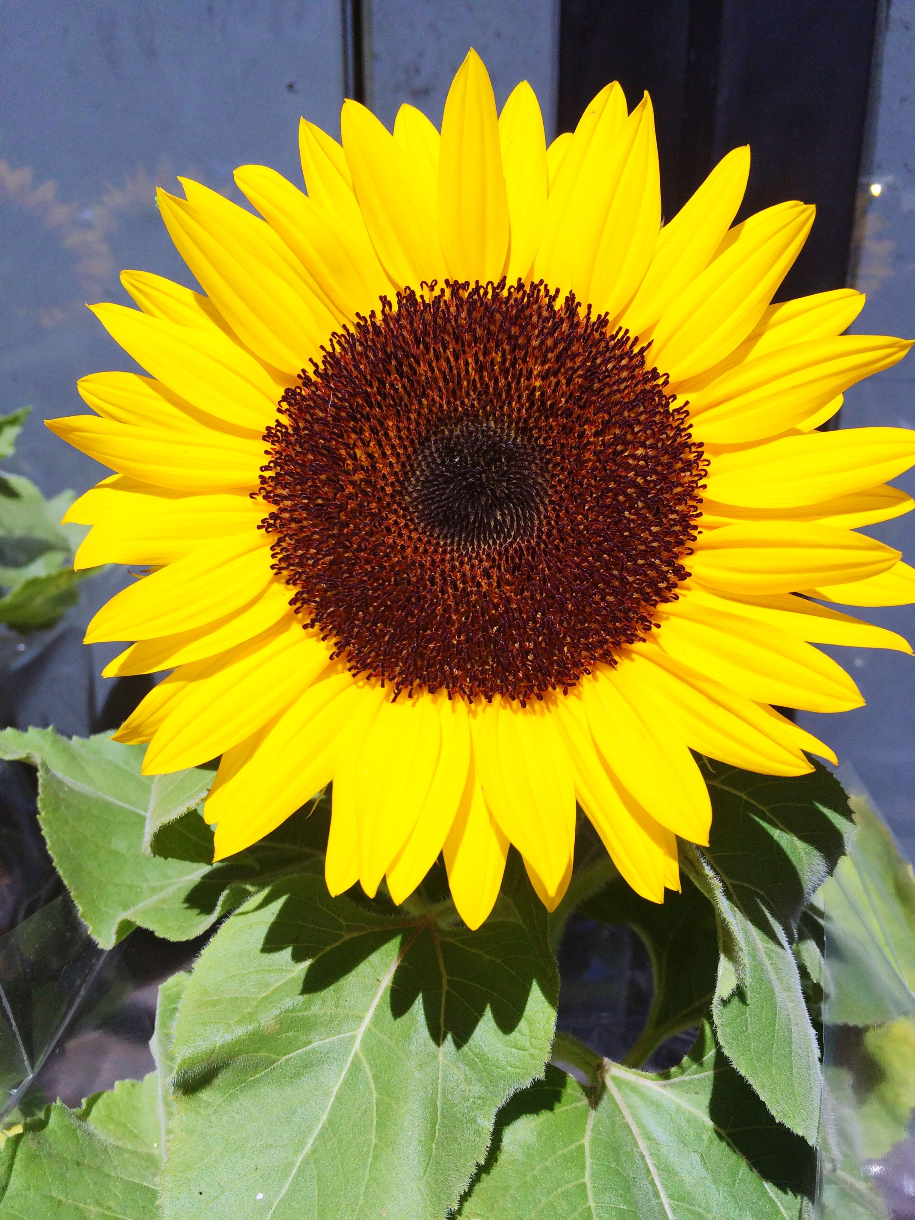 flower, yellow, sunflower, freshness, flower head, petal, fragility, growth, pollen, leaf, beauty in nature, plant, single flower, blooming, nature, close-up, in bloom, no people, day, outdoors