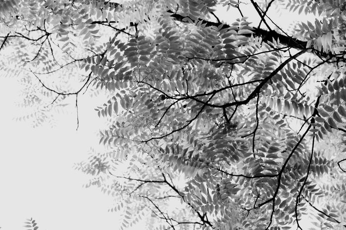 Black Beauty Tree from the bottom up. Blackandwhite Branch Nature Growth Tree No People Beauty In Nature Day Outdoors Sky