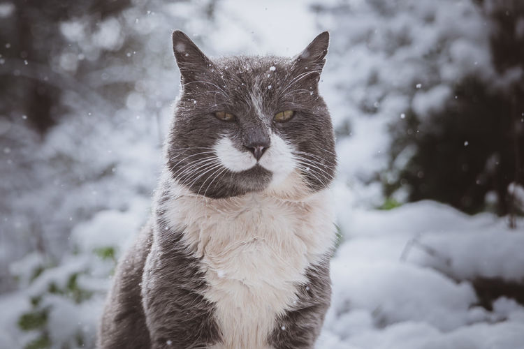 Oscar in winter wonderland   the grey cat stares in front of my lens and enjoys the falling snow Animal Themes Cat Cat Lovers Cold Temperature Domestic Animals Grey Nature Pets Portrait Snowing Weather White Landscape Winter Winter Wonderland Winter Adventures