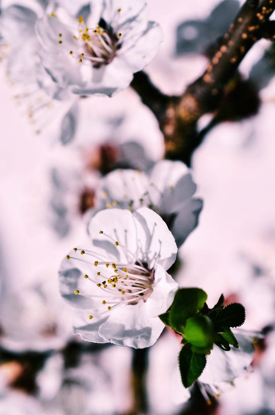 Patterns In Nature Springtime Spring Time Spring Light And Shadow ApricotBlossom Blooming Flower Blooming White Flower Flower Blossom Tree Blossom Apricot Flowers Apricot Tree Backgrounds Sunlight And Shadow White Background Closing Pastel Colored Plant Beauty In Nature Morning Light Close-up Flower Head Beauty
