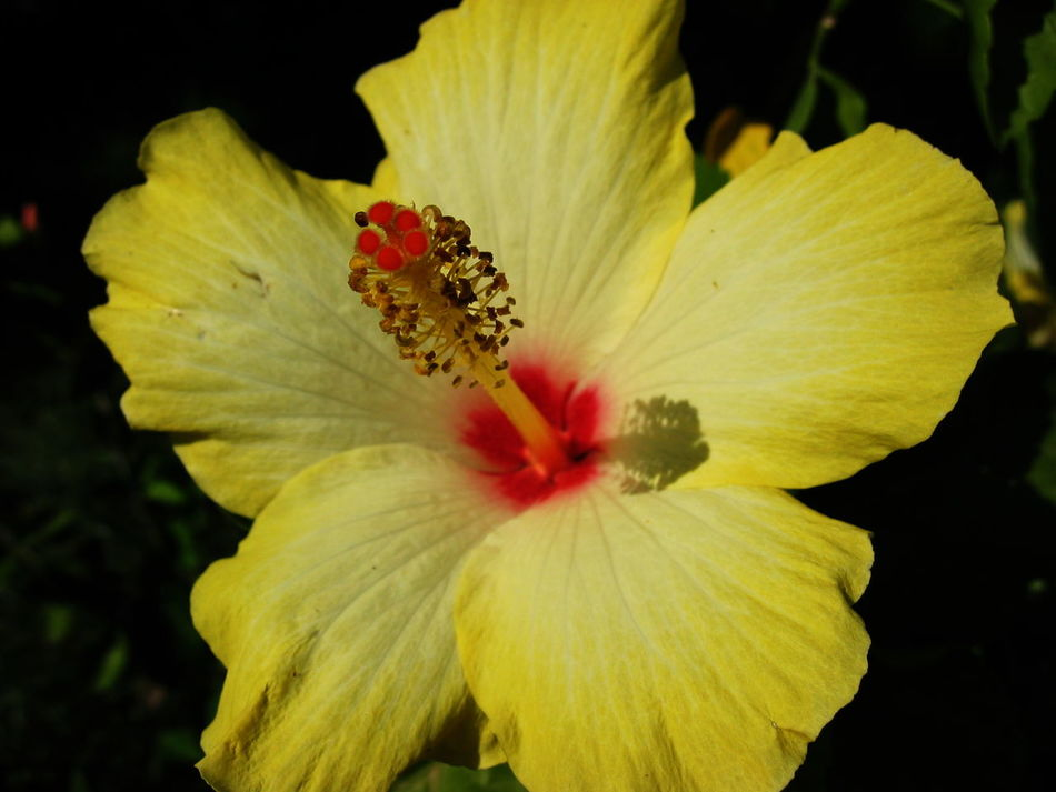 2003 Beauty In Nature Blooming Close-up Day Flower Flower Head Hibiscus Nature No People Outdoors Petal Pollen Santa Margherita Di Pula Sardegna Yellow