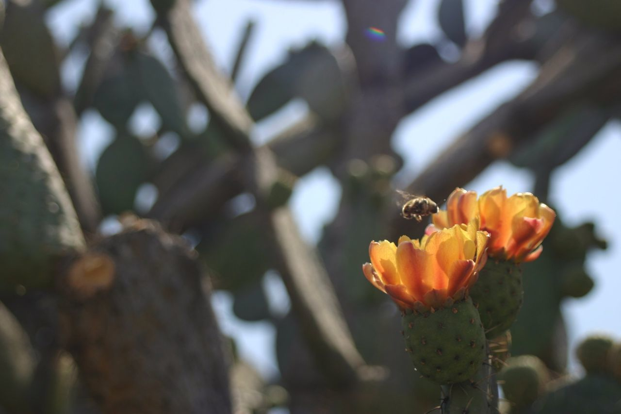 Nature's Diversities Enjoying Life Mexico Nopal Bee Tunas Nature Photography Check This Out Taking Photos Relaxing No People Outdoors Day Low Angle View Selective Focus Colour Of Life
