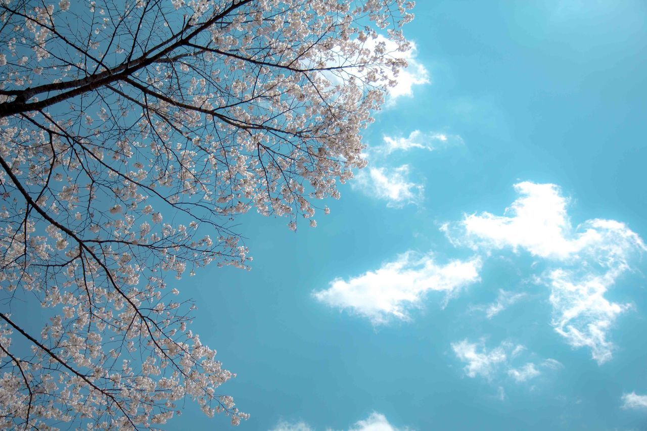 tree, beauty in nature, branch, nature, low angle view, sky, blossom, flower, growth, no people, springtime, day, blue, scenics, outdoors, backgrounds, cloud - sky, freshness, tranquility, fragility