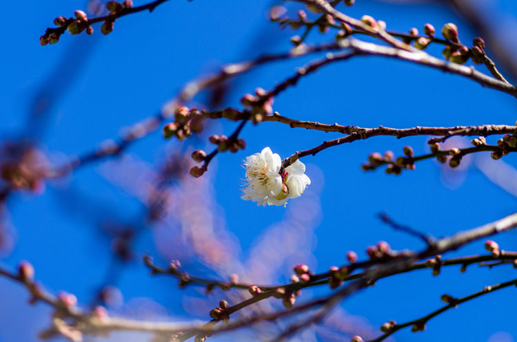 Beauty In Nature Blooming Blossom Blue Botany Branch Close-up Day Flower Flower Head Focus On Foreground Fragility Freshness Growth Low Angle View Nature No People Outdoors Petal Plum Blossom Sky Springtime Tree Twig White Color