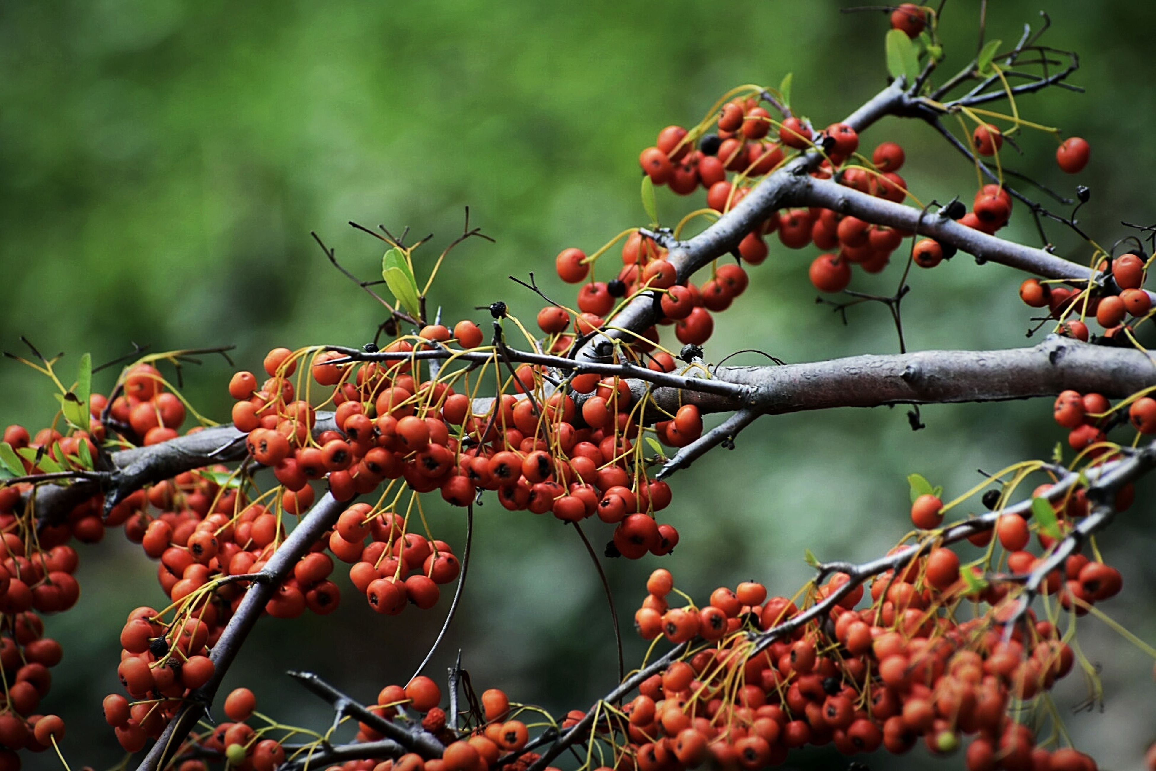 fruit, food and drink, tree, food, red, growth, rowanberry, outdoors, day, growing, focus on foreground, nature, no people, green color, beauty in nature, close-up, freshness