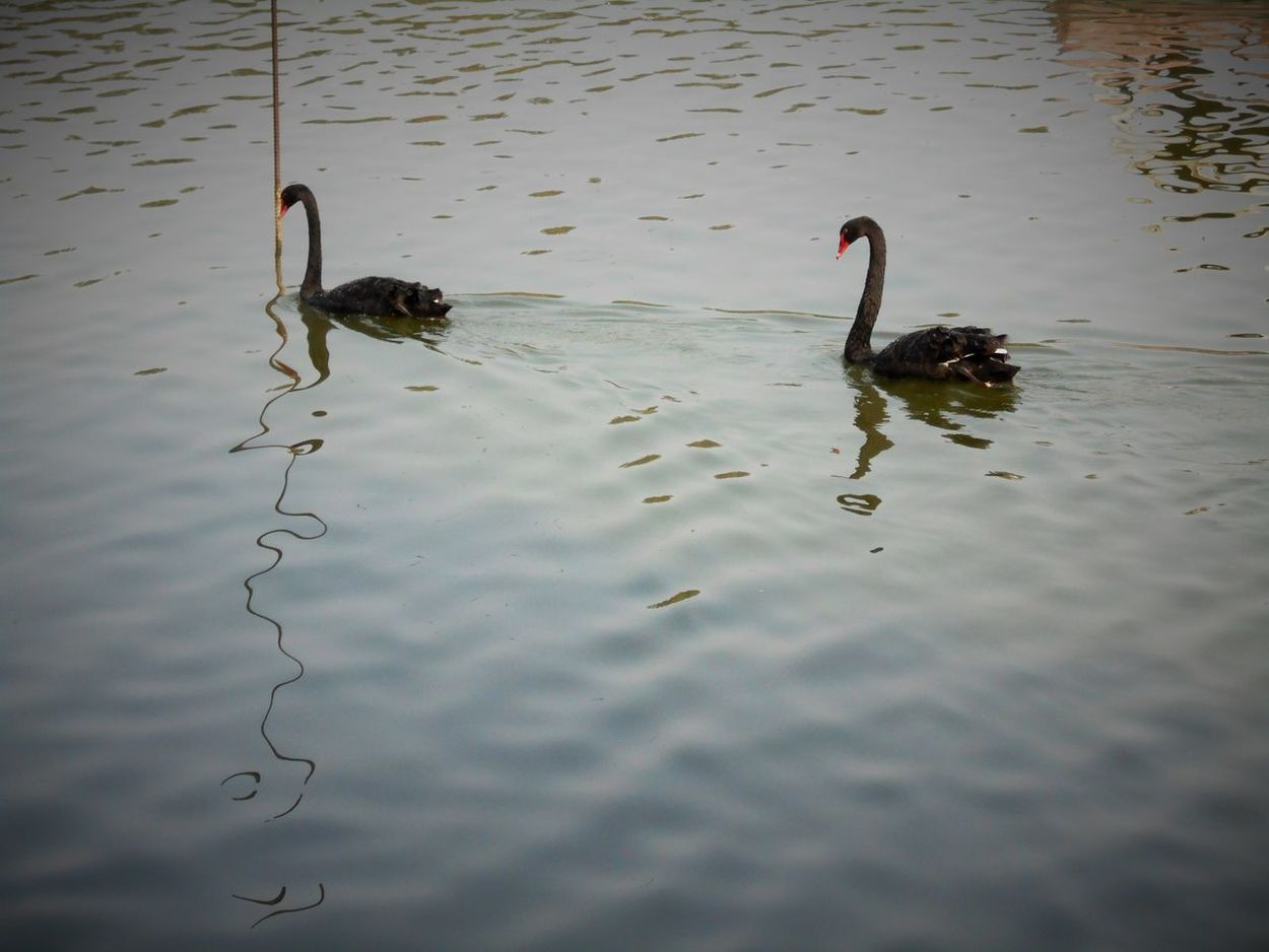Animal Animal Themes Avian Beauty In Nature Bird Black Swans In The Lake : Lake Nature Outdoors Swimming Water