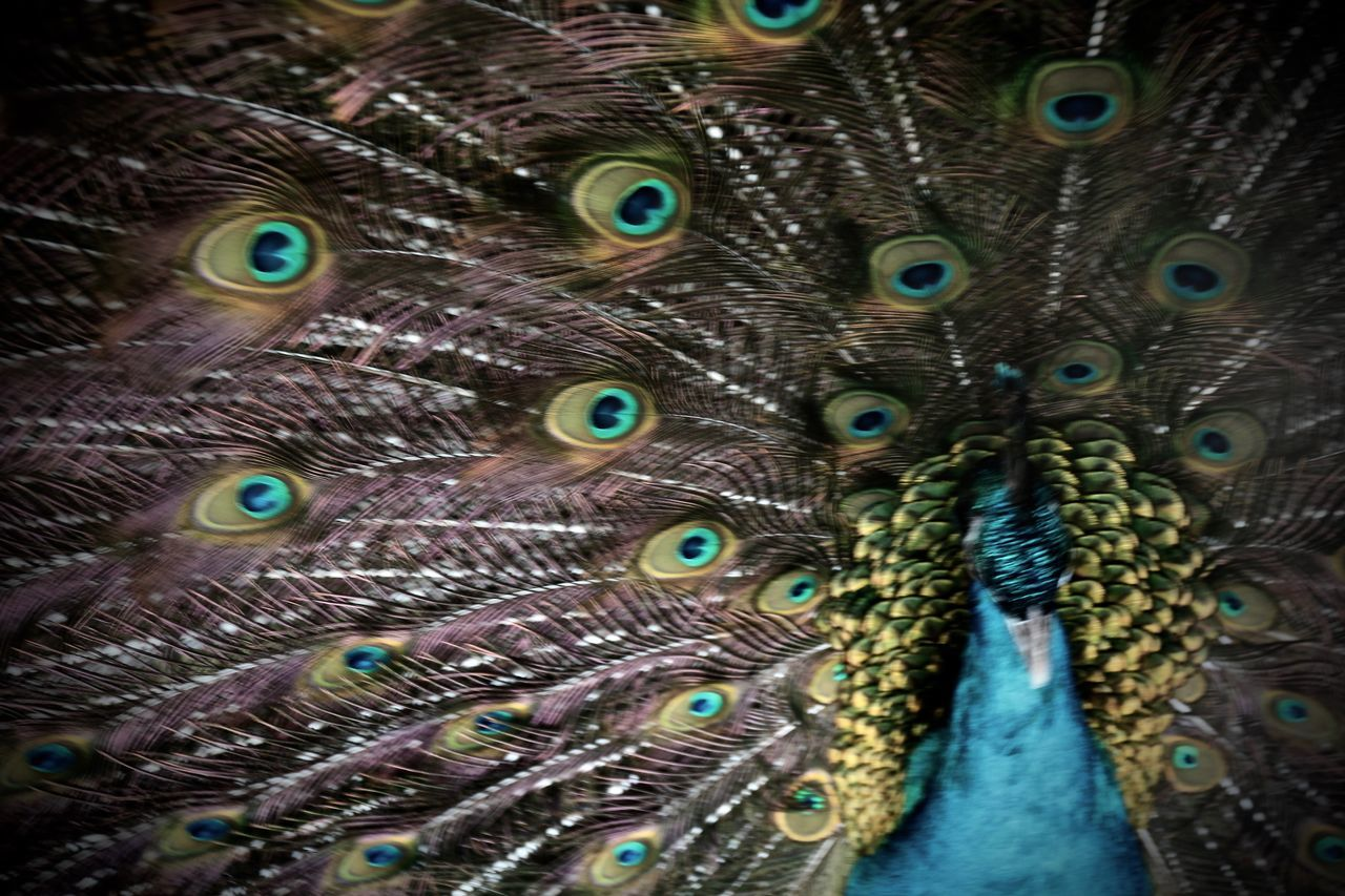 peacock, peacock feather, feather, fanned out, one animal, bird, animal themes, animals in the wild, animal wildlife, close-up, full frame, backgrounds, no people, multi colored, day, beauty in nature, outdoors, nature