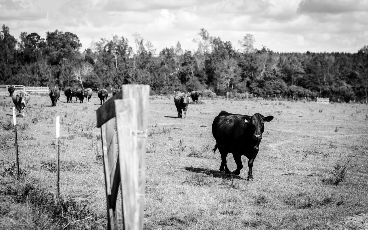 domestic animals, animal themes, mammal, livestock, field, tree, nature, landscape, grass, grazing, day, outdoors, cow, sky, pasture, rural scene, agriculture, no people