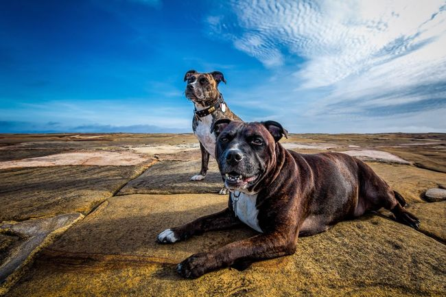 A walk at the seaside. Domestic Animals Dog Pets Animal Themes Sky Mammal Resting Animal Cloud - Sky Blue Outdoors Scenics Whitby Harbour Whitby Loyalty Day Staffordshire Bull Terrier Staffordshirebullterrier Staffylove Staffylovers Staffybull Staffysmile Staffylover Staffyoftheday