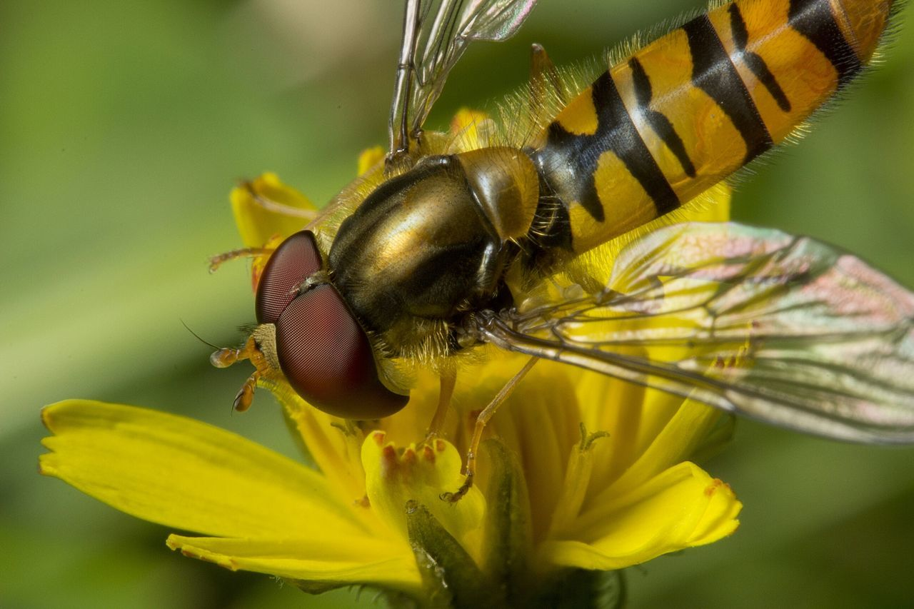 Close-Up Of Hoverfly Pollinating On Yellow Flower
