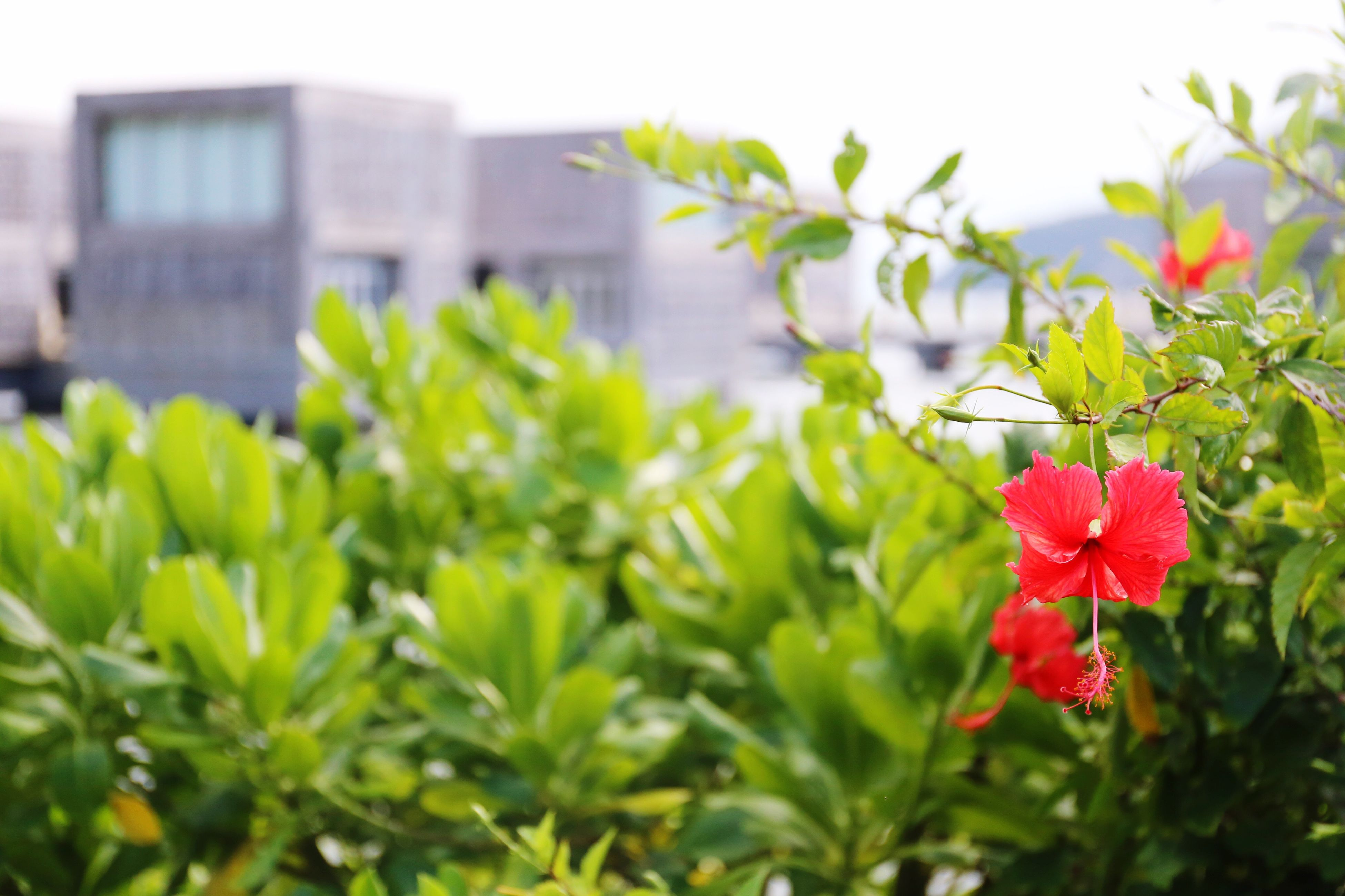 flower, growth, freshness, plant, fragility, leaf, focus on foreground, building exterior, red, built structure, petal, nature, blooming, beauty in nature, close-up, architecture, stem, flower head, pink color, green color