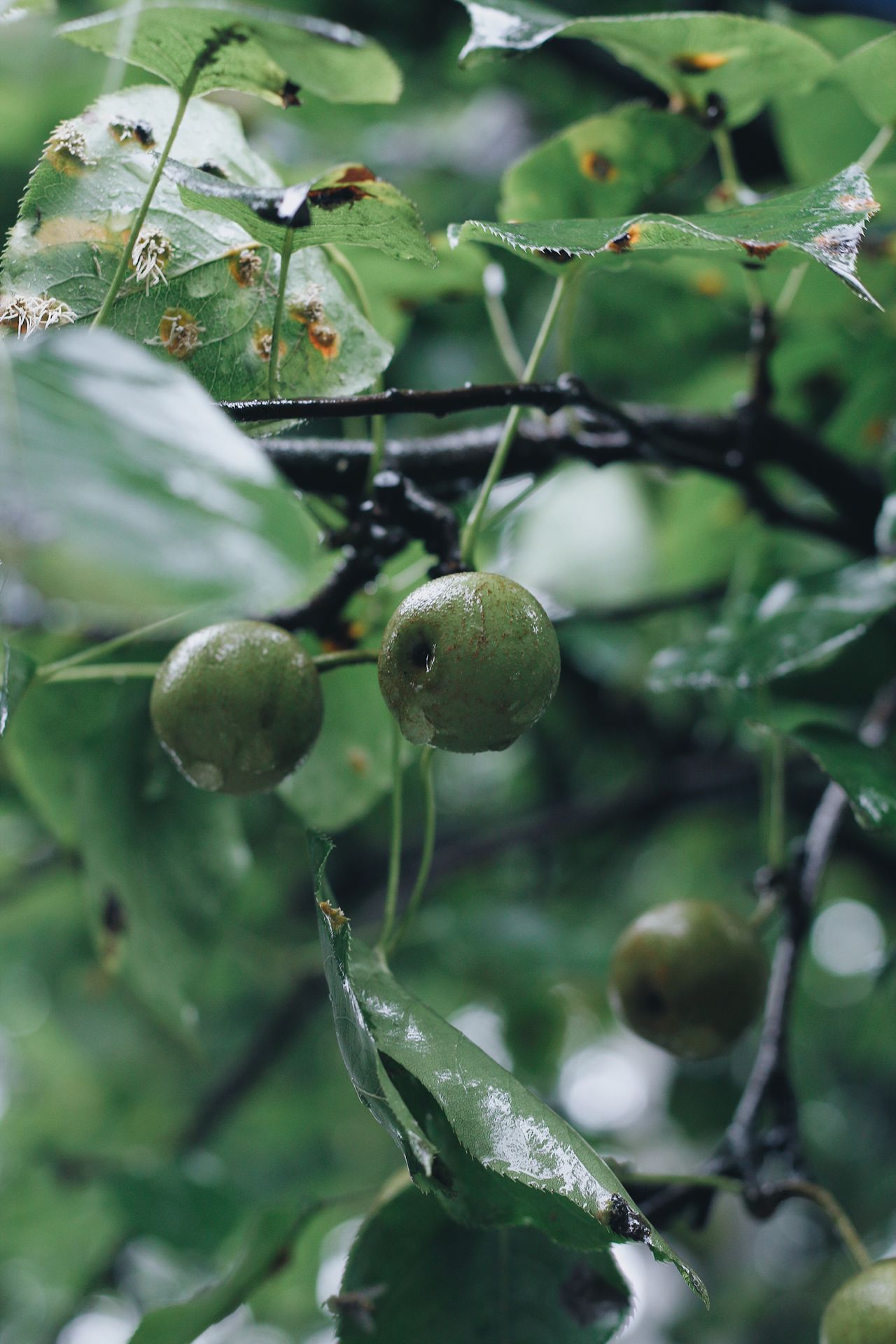 Rain Rainy Days Raindrops Pear Pears Pear Tree  Food And Drink Fruit Growth Green Color Food Unripe Nature Tree EyeEmNewHere Freshness Healthy Eating Focus On Foreground No People Leaf Outdoors Plant Branch Close-up Beauty In Nature