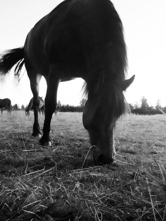 Sweet little horses Enjoying Life EyeEm Nature Lover Vackra Dalarna Tadaa Community Days In July Blackandwhite Fortheloveofblackandwhite Sweet Little Horses