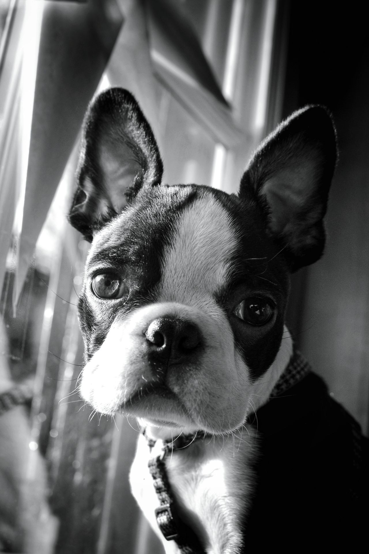 Domestic Animals Pets Animal Themes Dog One Animal Looking At Camera Portrait Close-up No People Boston Terrier Monochrome Photograhy Blackandwhite Photography EyeEm Black&white! Monochrome _ Collection Taking Photos Black & White Mypointofview Light And Shadow Dogportrait Blackandwhite Portrait Boston Terriers Boston Terrier American Gentleman. Boston Terrier, Cute, Pet, Best Friend
