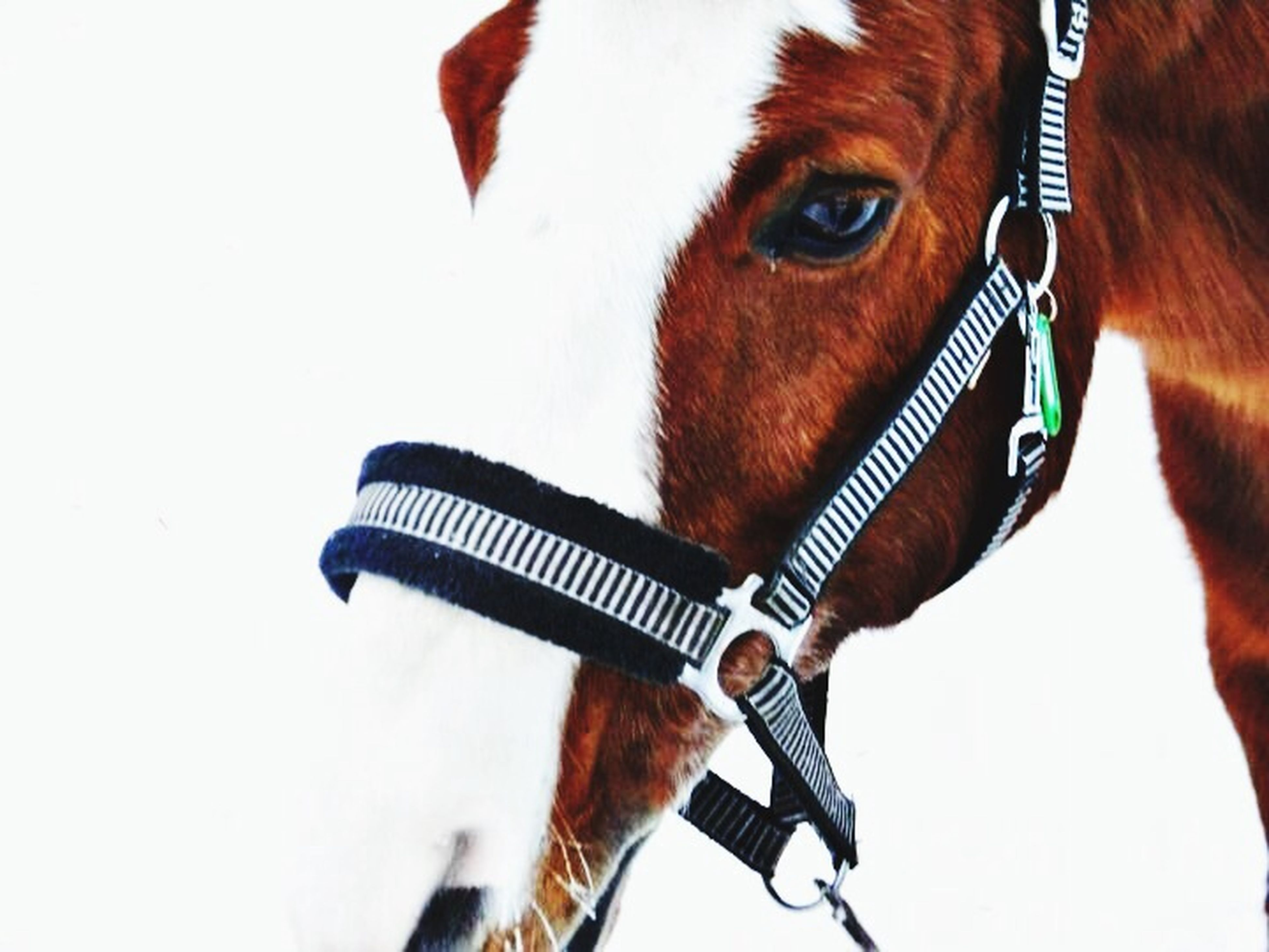 close-up, one animal, part of, animal themes, white background, studio shot, focus on foreground, front view, animal head, indoors, person, side view, horse, holding, copy space, brown, cropped