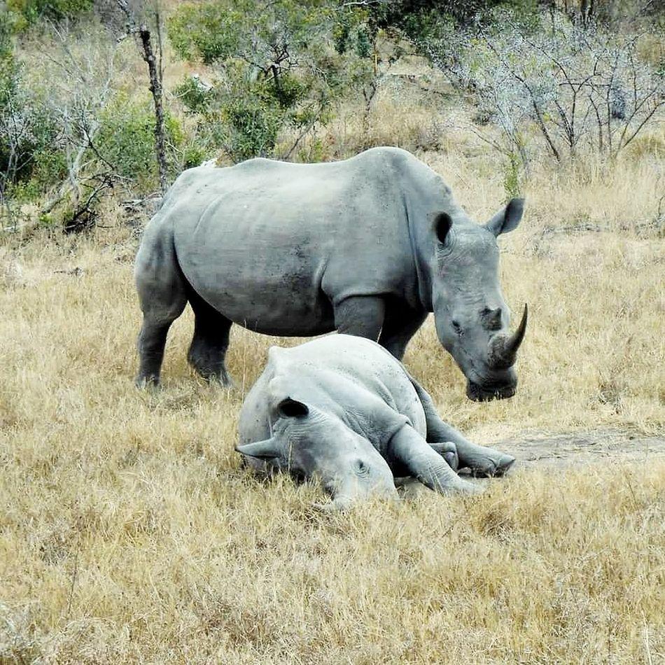 Rhinos in Kruger Rhinos Savetherhinos Stoppoaching Stoppoachers Krugernationalpark South Africa Africa Africa Wildlife Wildlife Wildlife Photography Travel Travel Destinations Travel Photography