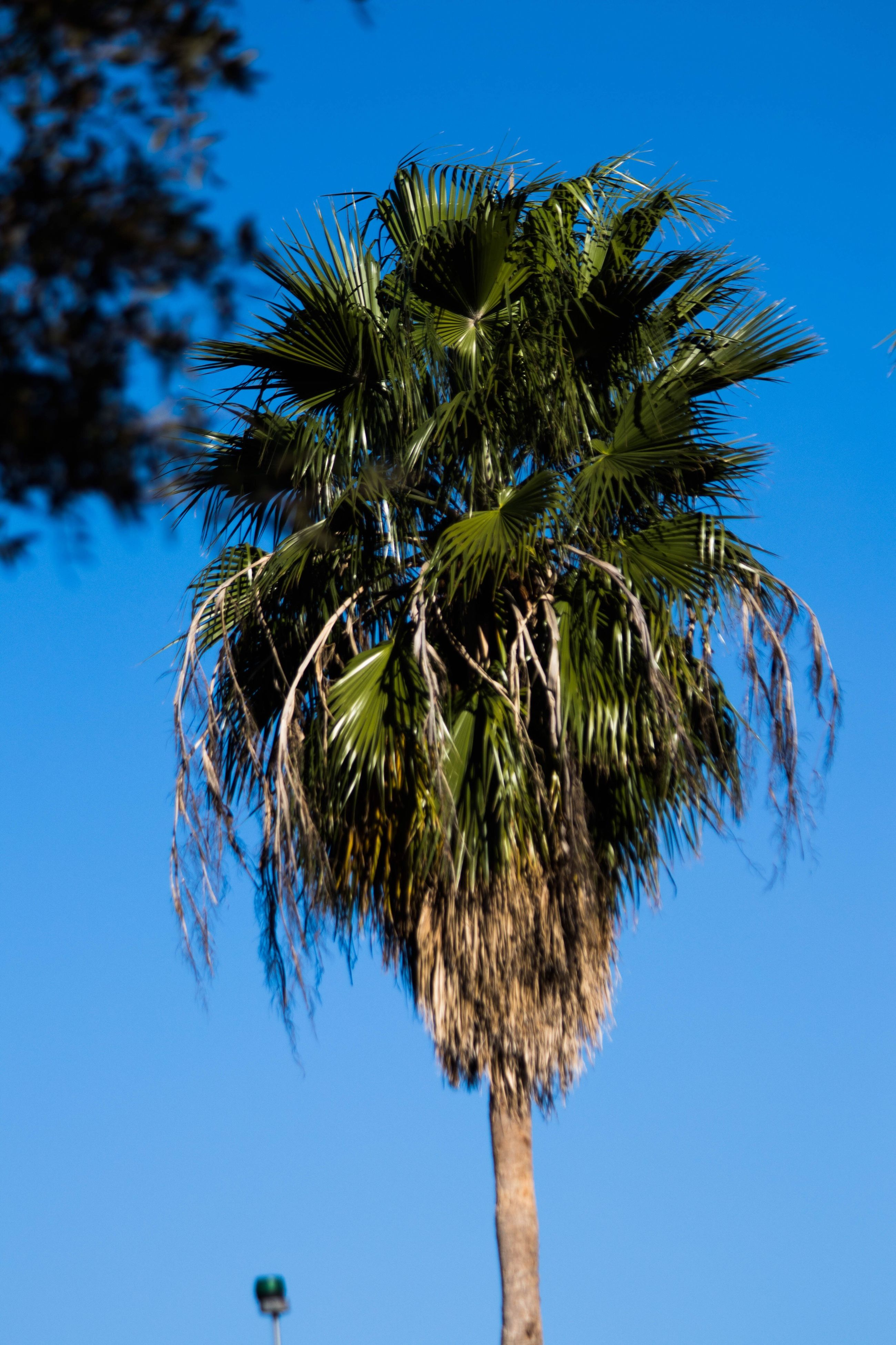 blue, tree, pine tree, growth, palm tree, nature, no people, sky, day, outdoors, beauty in nature, close-up