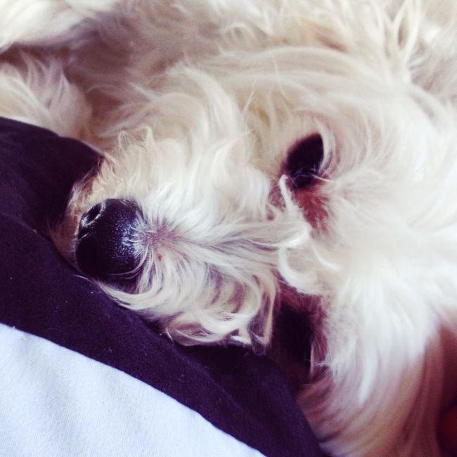 Chinesecrustedpowderpuff Dog Cute Adorable Puppy